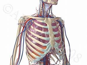 Search Results For  U201cdiagram Of Human Heart U201d  U2013 Calendar 2015