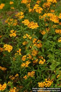 Mexican Mint Marigold Tagetes Lucida