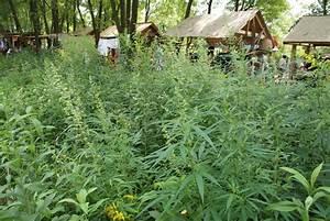 Unkraut Bestimmen Durch Bilder : cannabis natur gesellschaft f r fleischfressende pflanzen e v ~ Whattoseeinmadrid.com Haus und Dekorationen