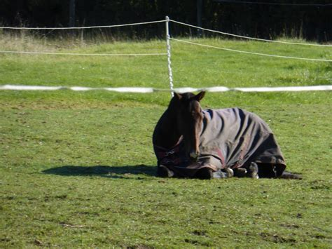 sleep much horses horse standing too down they nap