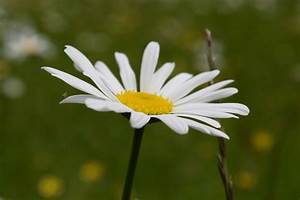 Free picture: s... Daisy