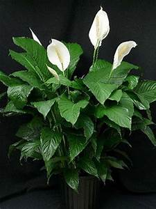 56 best images about Peace lilies on Pinterest | Sympathy ...