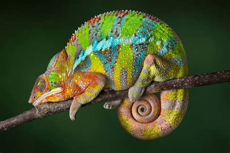 types of chameleons madagascar s panther chameleon is really 11 separate species mnn mother nature network