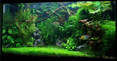 25 best ideas about plante aquarium eau douce on