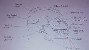 Diagram Of Human Skull  How To Draw Human Skull With Label