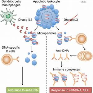 Autoimmunity Prevention By Digestion Of Dna In Apoptotic