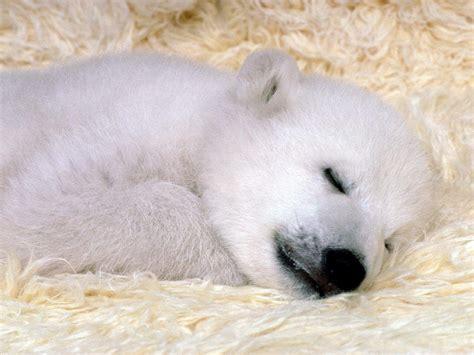 Baby Polar Bear Wallpapers