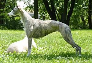 Pin Koochee Afghan Kuchi Kuchee Dog For Sale Demand Is ...