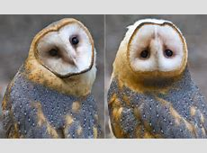 Owl captured on camera as it spins its head 180 degrees