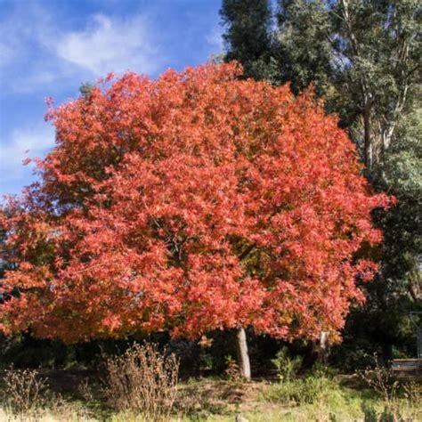 deciduous trees arizona tree nursery deciduous trees