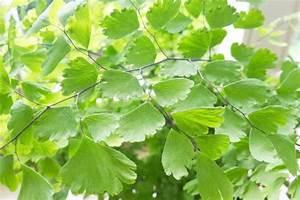 Indoor Grow Anleitung : adiantum frauenhaarfarn pflege anleitung plantopedia ~ Eleganceandgraceweddings.com Haus und Dekorationen