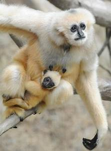 baby white cheeked gibbon along for the ride zooborns