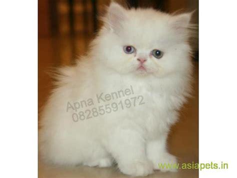 Persian Cats For Sale In Kolkata Best Price Persian