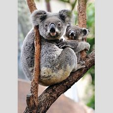 Queensland Koalas Hit By Chlamydia Infections  The New York Times