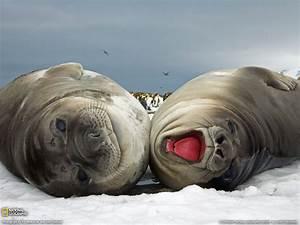 Elephant Seal Pups Picture, South Georgia Island ...