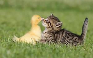 Funny wallpaper of a cat and duck | HD Animals Wallpapers