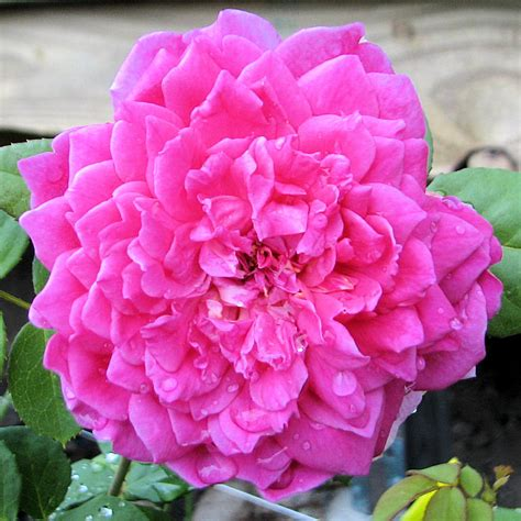 planting david roses planting grafted container roses in cold climates