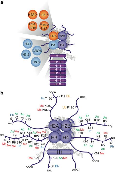 Modification Histone by Histone Post Translational Modifications And Variants A