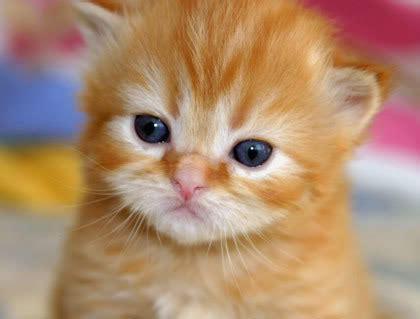 gambar gambar anak kucing  comel  lucu  imut
