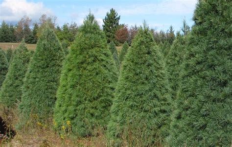 white pine wholesale christmas trees