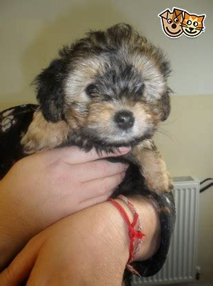 Jackadoodle     Salford, Greater Manchester Pets4homes