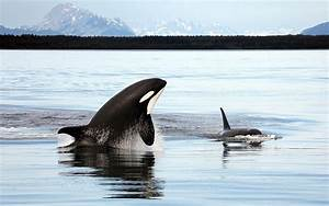 Musings of a Biologist and Dog Lover: Are Orcas Whales?