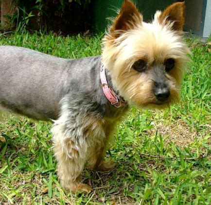Silky And Yorkie Rescue Ssrdogs Org Au