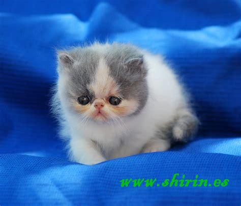 Gatti Persiani Esotici - allevamento shirin gatti persiani ed esotici