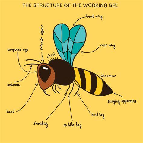 bee aware honey bee lessons   classroom