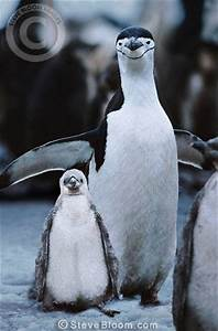 Chinstrap penguin mother and baby, Antarctica