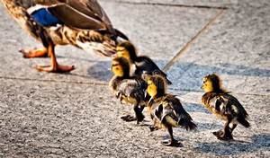Baby Ducks Following Their Mother At The National World ...