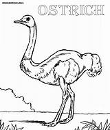 Ostrich Coloring Egg Coloringway Template Jawar sketch template