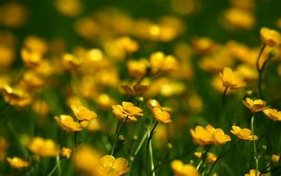 Yellow Flowers Buttercups Nature Plants Wallpapers 4k