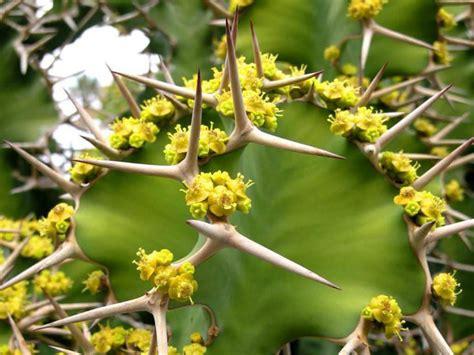 euphorbia growing conditions euphorbia grandicornis cow s horn big horned spurge world of succulents