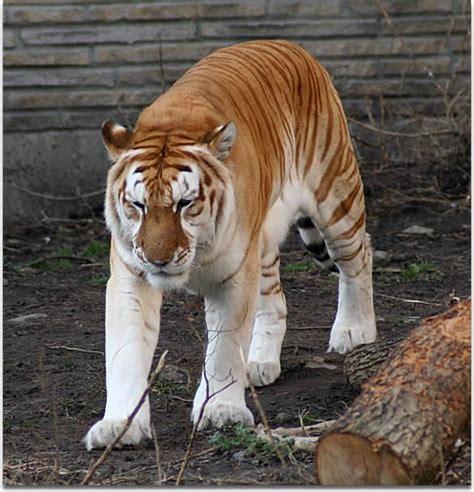 Golden Tabby Tigers