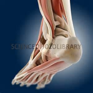 Foot Anatomy