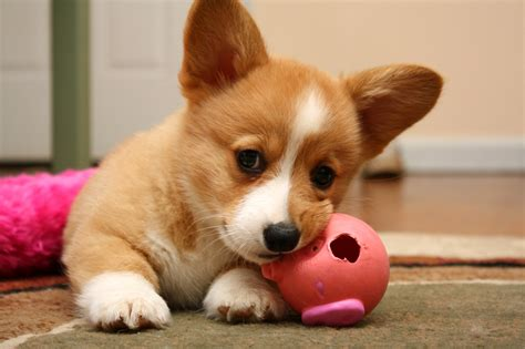 14 Facts Every Corgi Fan Should Know
