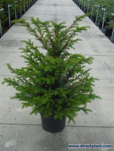 Tuingerei  Taxus Baccata (taxushaag) 3040 Cm Van Taxus