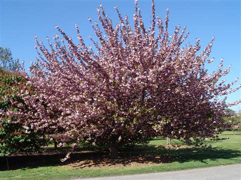 flowering japanese cherry japanese flowering cherry kwanzan prunus serrulata flickr