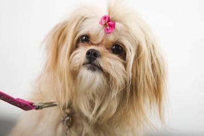 dogs pekingese hairstyles