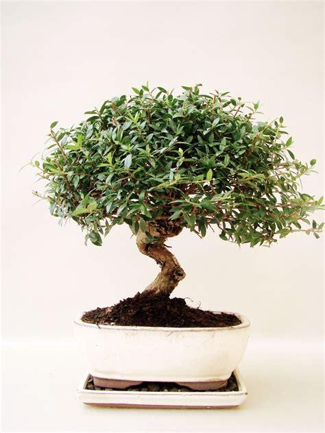 myrte bonsai pflanzen fuer nassen boden