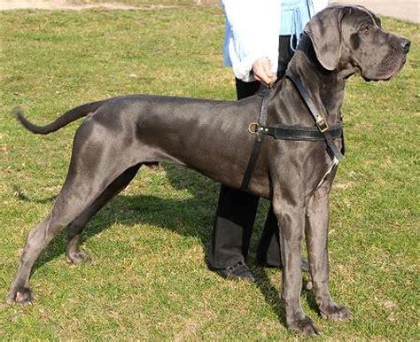 deutsche dogge hunde geschirr aus leder mit polsterung