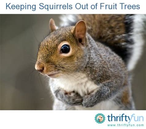 keeping squirrels out of fruit trees thriftyfun