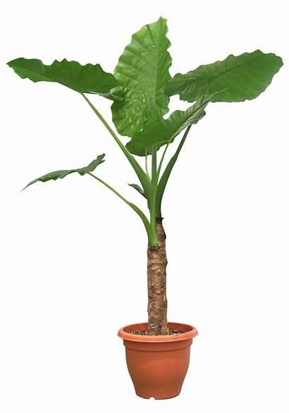 Plant Plants Transparent Potted Tree Photoshop Deviantart