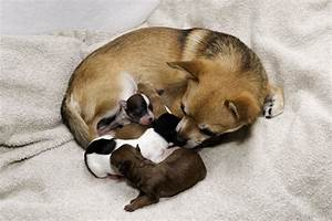 Chihuahua Weight Chart Growth Chihuahua Puppy Growth Chart