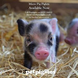 445 best images about Micro Pigs at Petpiggies on ...