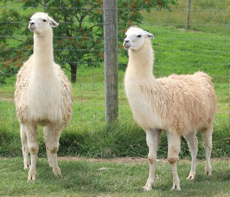 llama key facts information pictures