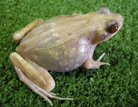 windeartfly hewan yang memiliki kulit transparan