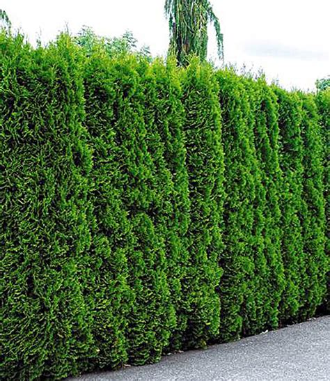 pflanzen für hecke lebensbaum hecke thuja smaragd 1a pflanzen baldur garten