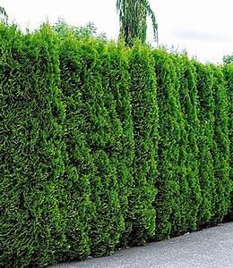 Immergrüne Hecke Pflegeleicht : lebensbaum hecke thuja smaragd 1a pflanzen baldur garten ~ Markanthonyermac.com Haus und Dekorationen